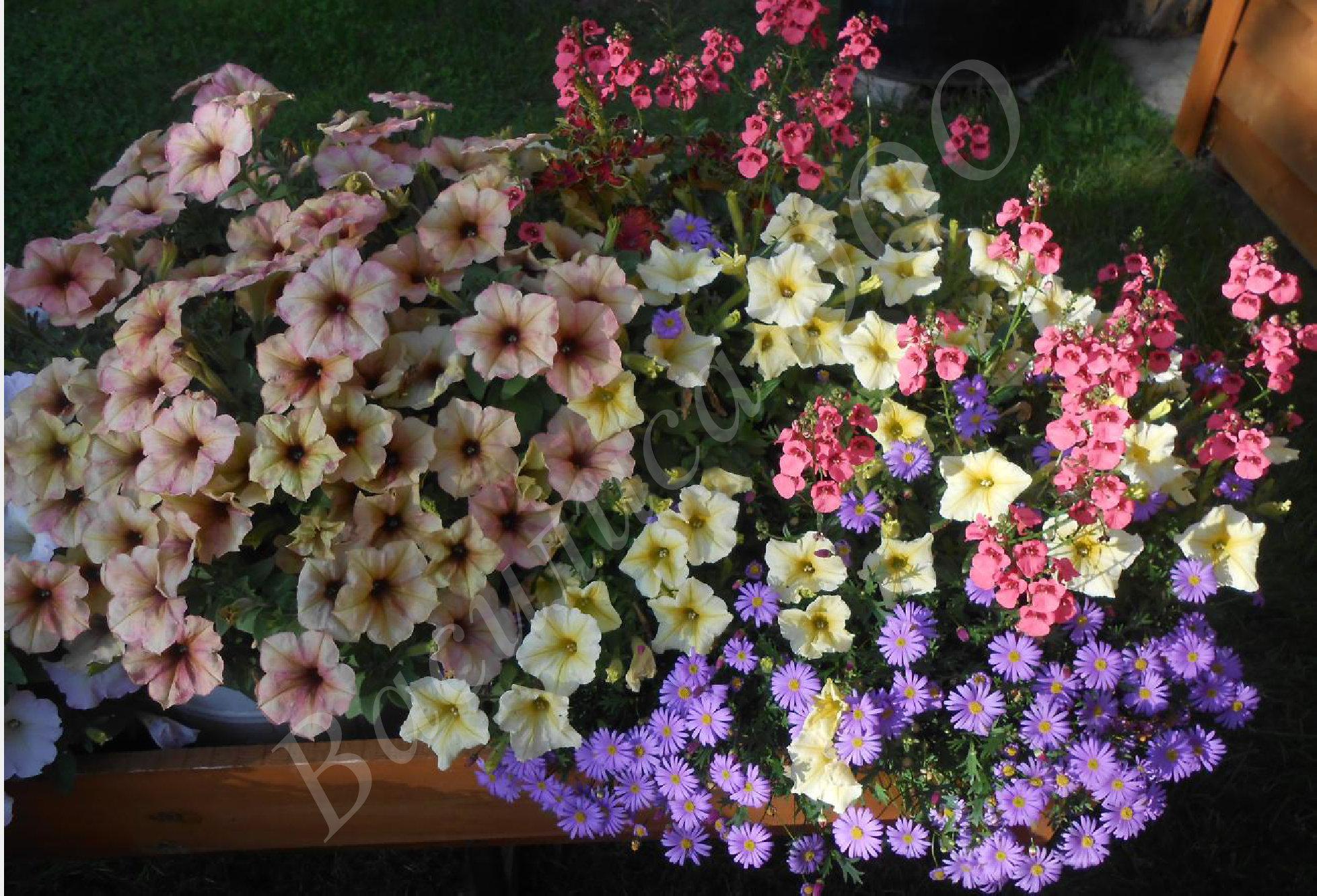 Калибрахоа выращивание черенками фото 81